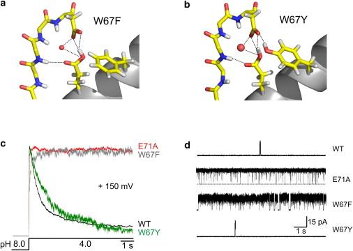 A multipoint hydrogen-bond network underlying KcsA C-type