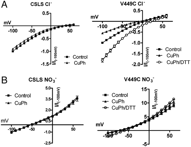 Figure 7. V449C retains anion conductance after cross-linking. Using a two-electrode voltage clamp, currents from oocytes expressing CSLS or V449C were recorded in normal chloride-containing solution (A) and in a solution in which chloride was replaced by (B). Recordings were made before (▪) and after (▴) application of 300 μM CuPh (5 min), as well as after initial treatment with 20 mM DTT (5 min, ○). The currents obtained in the absence of glutamate were subtracted from those elicited by 1 mM L-glutamate. Currents were normalized to the control currents obtained at -100 mV.