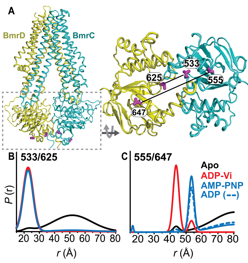 Conformational dynamics of the nucleotide binding domains and the figure 1 conformational states of bmrcd nbds a ribbon representation of bmrcd homology model showing the spin label pairs at symmetric sites across the ccuart Images