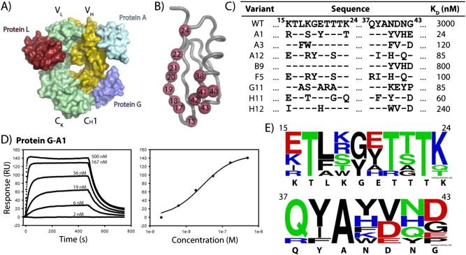 Binding immunoglobulin protein
