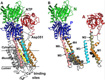 Conformational Transitions and Alternating-Access Mechanism in the Sarcoplasmic Reticulum Calcium Pump