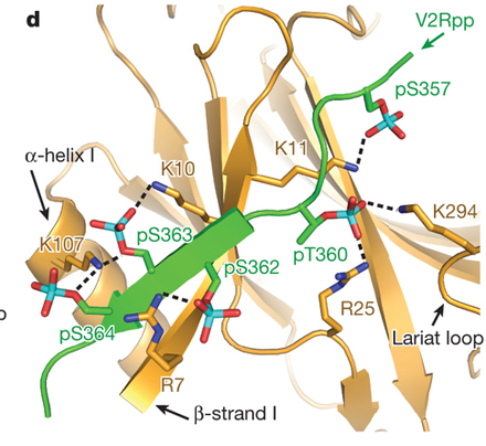 Structure of active β-arrestin-1 bound to a G-protein-coupled receptor phosphopeptide